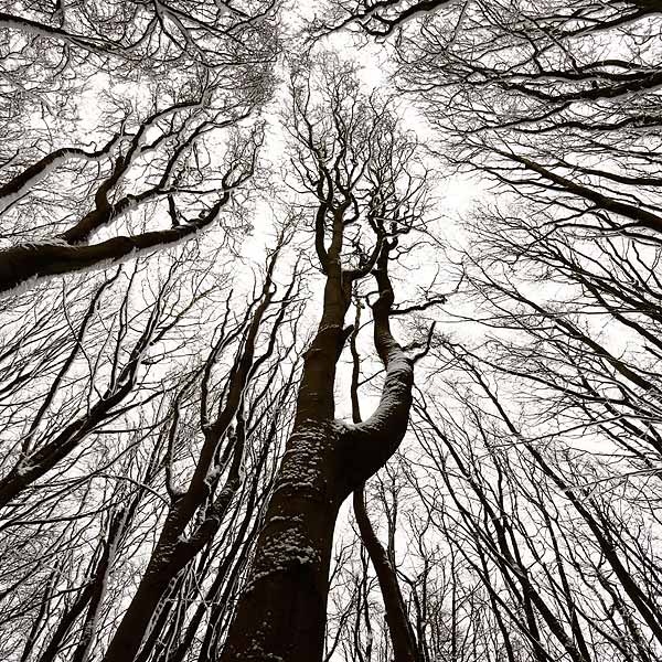 Beech woodland winter