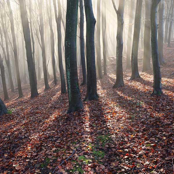 Beech Woodland Autumn